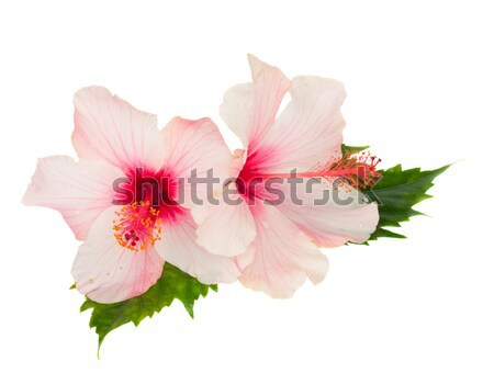 single pink hibiscus flower with leaves Stock photo © neirfy