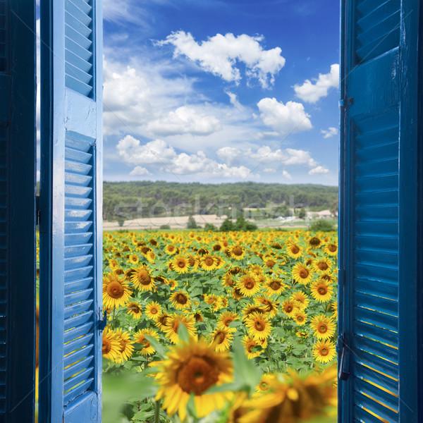 Foto stock: Campo · girassóis · brilhante · verão · dia · flor
