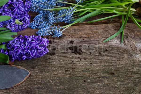 hyacinth  and shovel  Stock photo © neirfy