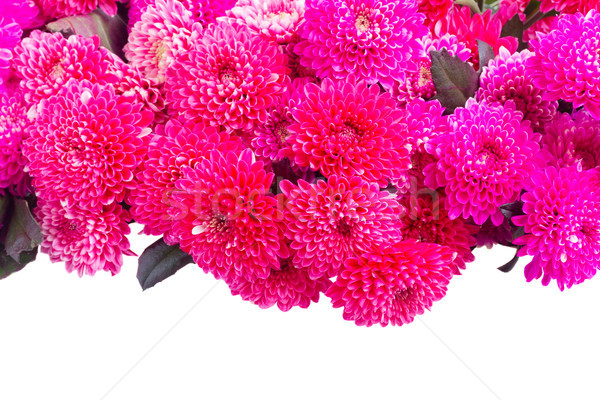 Mavi krizantem çiçekler kırmızı pembe taze Stok fotoğraf © neirfy