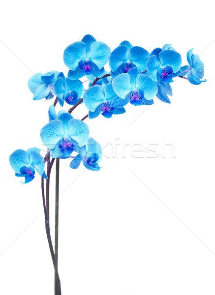 purple orchid branch Stock photo © neirfy