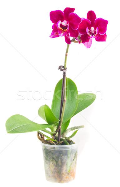 Foto stock: Fresco · rosa · orquídea · pote · vermelho · folhas · verdes