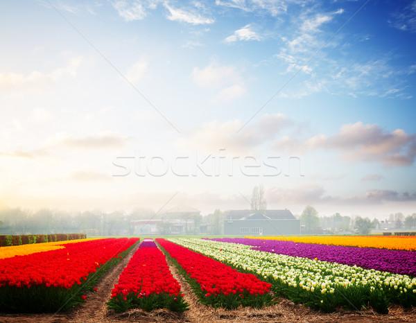 Dutch yellow tulip fields in sunny day Stock photo © neirfy