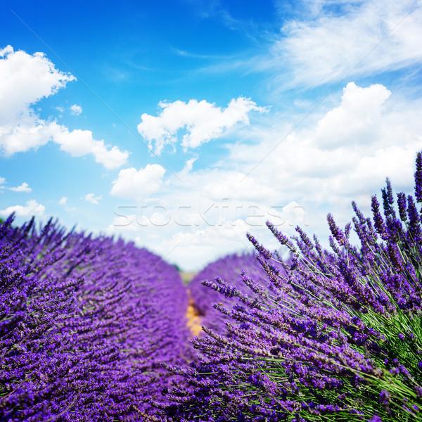 Lavendel veld zomer vers blauwe hemel exemplaar ruimte Stockfoto © neirfy