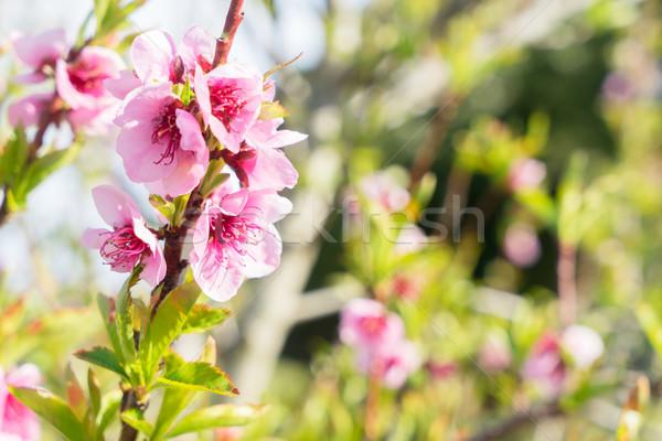 Perzik boom bloesem roze bloemen Stockfoto © neirfy