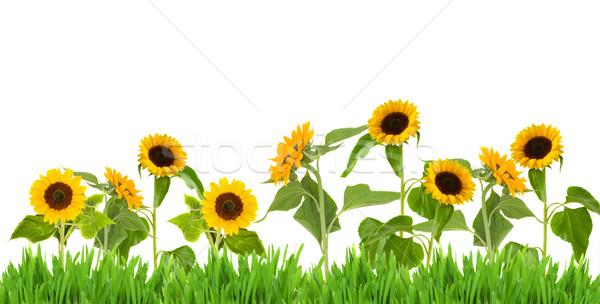 bight sunflower border Stock photo © neirfy