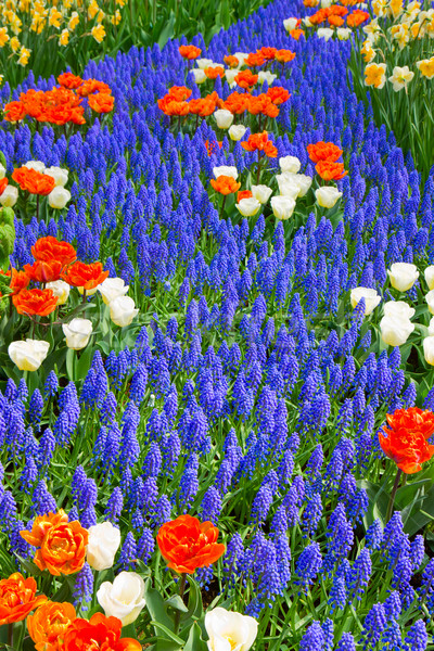 blue river of muscari flowers in holland garden Stock photo © neirfy