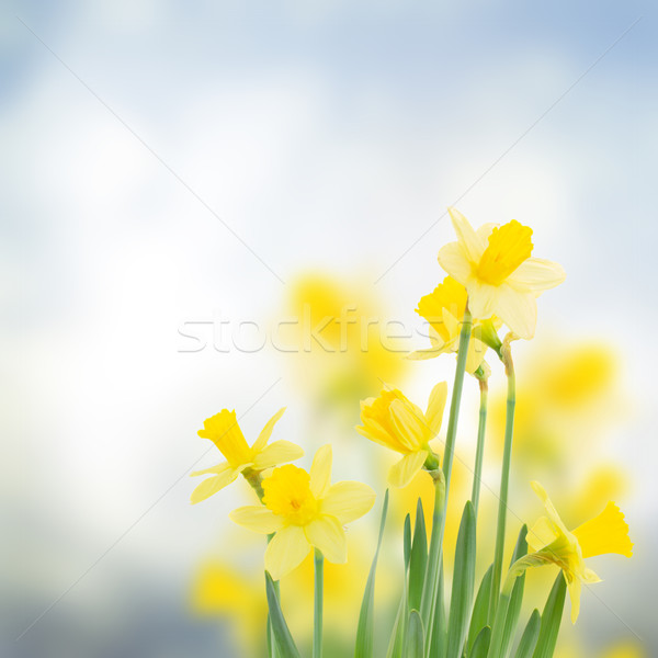 весны нарциссов саду синий bokeh цветы Сток-фото © neirfy