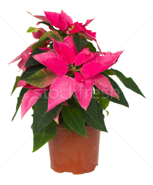 pink poinsettia flower  in pot Stock photo © neirfy
