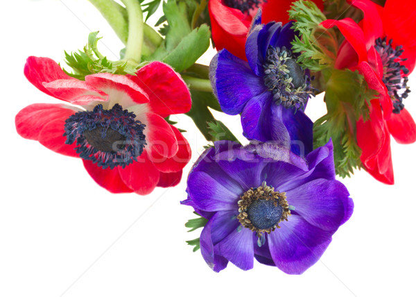 çiçekler mavi kırmızı taze yalıtılmış Stok fotoğraf © neirfy