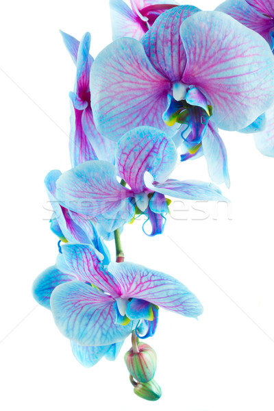 Stengel blau Orchideen frischen Orchidee Blumen Stock foto © neirfy