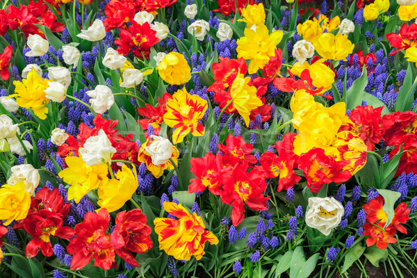 Tulips and bluebell flowerbed Stock photo © neirfy