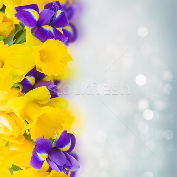 Citromsárga nárcisz kék írisz virágok keret Stock fotó © neirfy