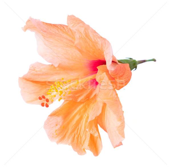 Turuncu ebegümeci çiçek tropikal çiçek çiçekler yalıtılmış Stok fotoğraf © neirfy