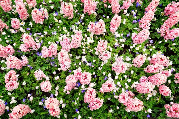 Rose jacinthe parterre de fleurs parc Pays-Bas Photo stock © neirfy