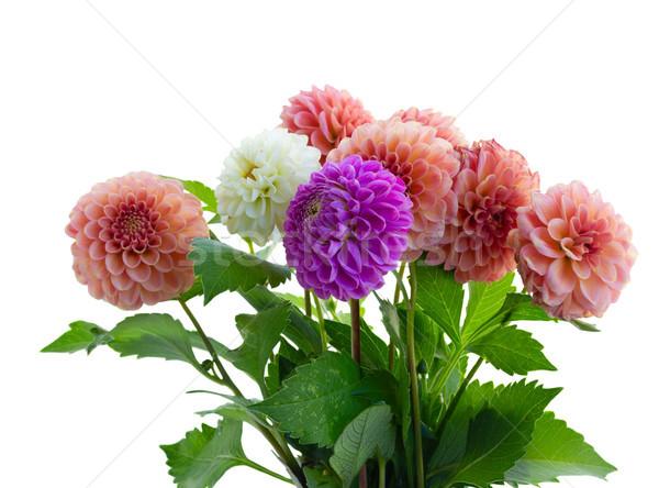 Dalia kwiaty bukiet mieszany spadek odizolowany Zdjęcia stock © neirfy