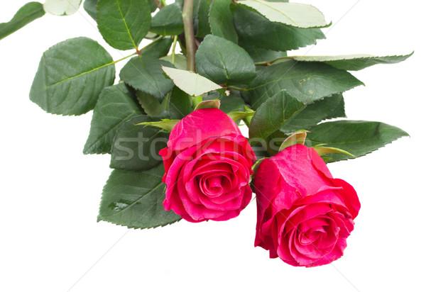 Сток-фото: два · розовый · цветы · Розовые · розы · изолированный