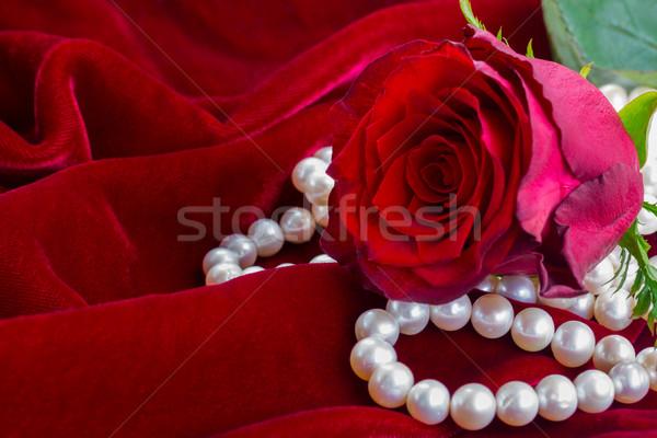 Piros rózsa bársony egy friss virág közelkép Stock fotó © neirfy