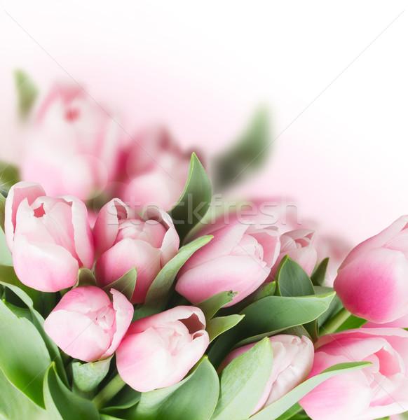 pink   tulips Stock photo © neirfy