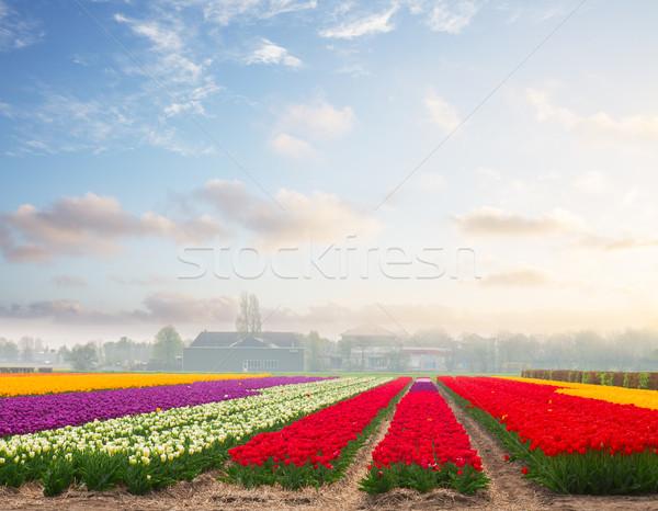 Holandés amarillo tulipán campos Foto stock © neirfy