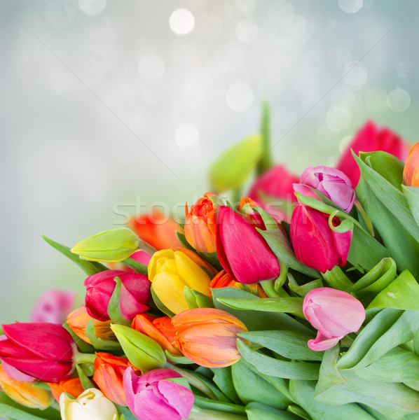 tulips in garden Stock photo © neirfy