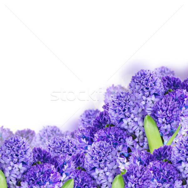 Azul jacinto flores branco fundo planta Foto stock © neirfy