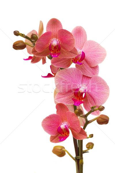 Stok fotoğraf: Pembe · orkide · şube · yalıtılmış · beyaz · bahçe