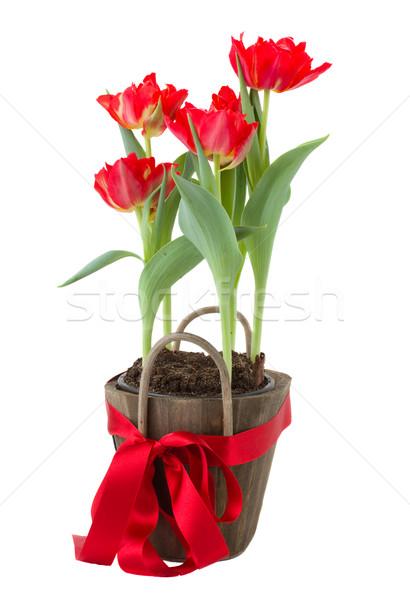 tulips in pot Stock photo © neirfy