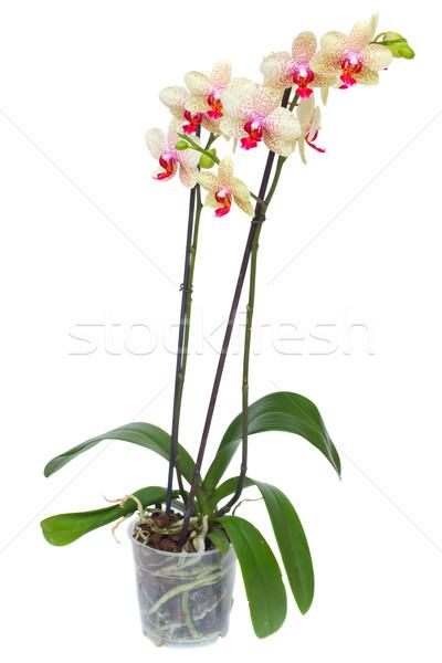 Stock fotó: Citromsárga · piros · orchidea · edény · izolált · fehér