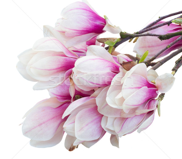Pembe manolya ağaç çiçekler taze Stok fotoğraf © neirfy
