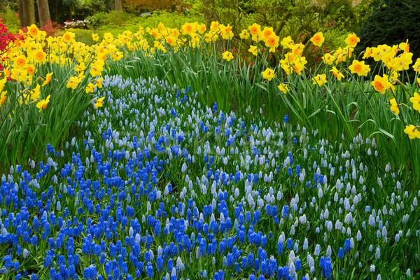 Nergis taze sarı bahar büyüyen Stok fotoğraf © neirfy