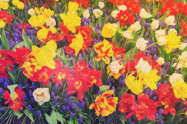 Tulipánok virágágy piros citromsárga retro virágok Stock fotó © neirfy