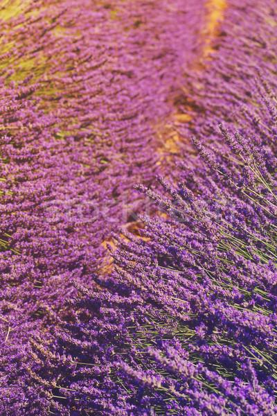 Lavendel veld bloemen retro natuur landschap Stockfoto © neirfy