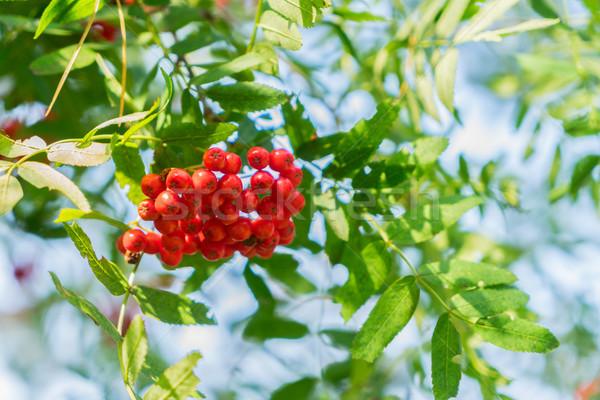 Bessen bladeren Rood vers groene bladeren blauwe hemel Stockfoto © neirfy