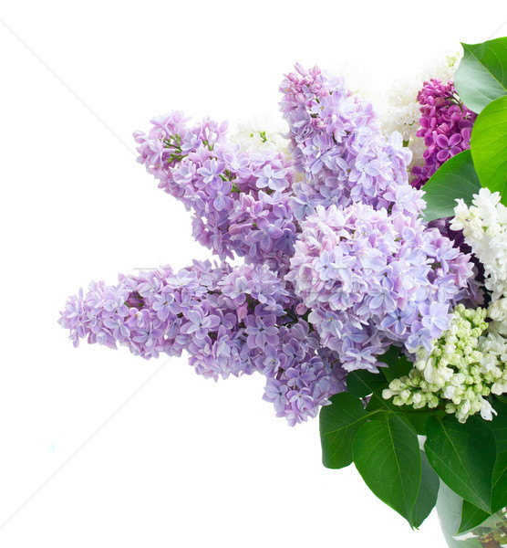 Friss orgona virágok izolált fehér virág Stock fotó © neirfy
