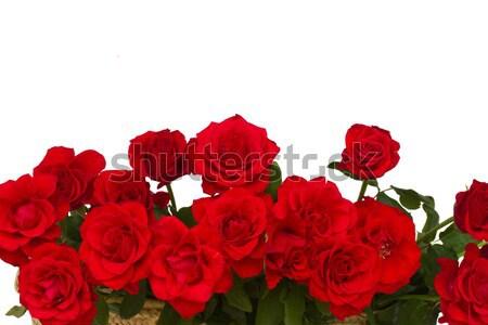 border of scarlet roses Stock photo © neirfy