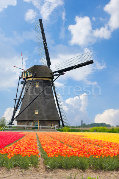 dutch windmills over  tulips Stock photo © neirfy