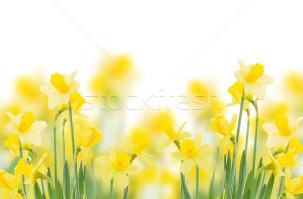 春 成長 水仙 孤立した 白 ストックフォト © neirfy