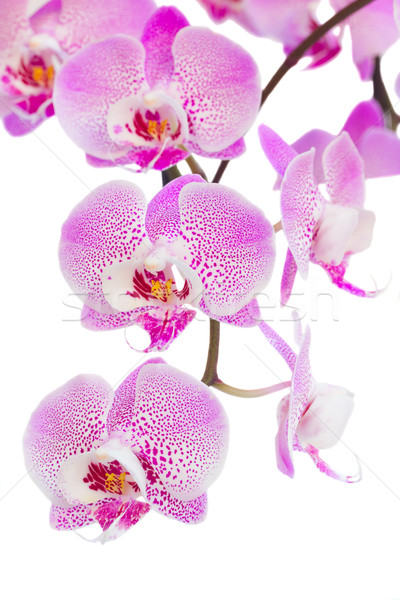 pink  orchid flowers branch close up Stock photo © neirfy