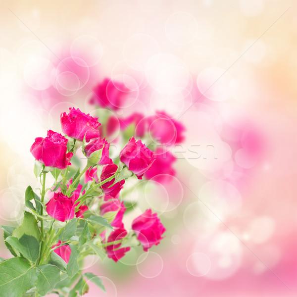 şube taze leylak rengi güller pembe bokeh Stok fotoğraf © neirfy
