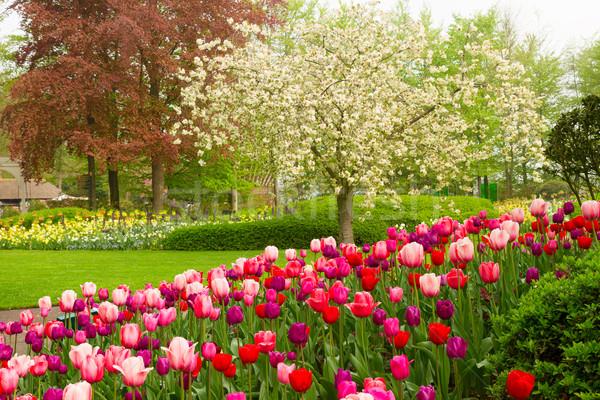 ストックフォト: 春 · 庭園 · ツリー · チューリップ · 花