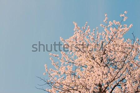 Blooming tree Stock photo © neirfy