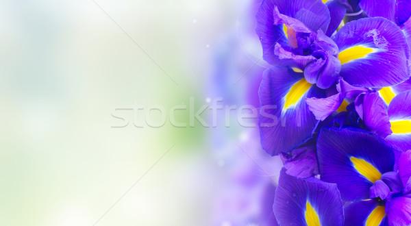 Mavi iris çiçekler sınır bo bokeh Stok fotoğraf © neirfy