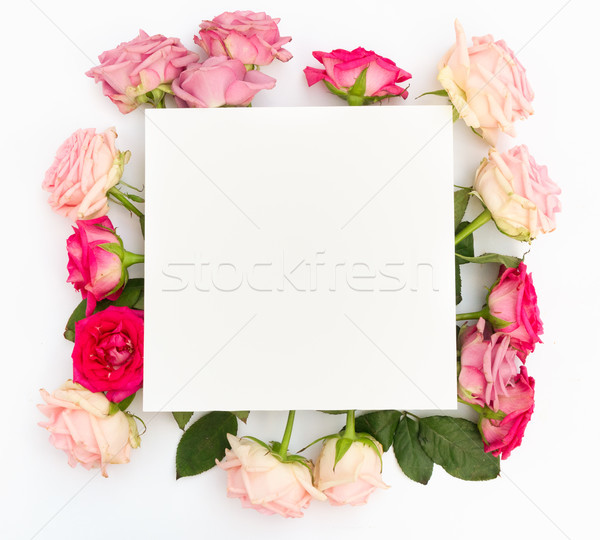 Violet and pink blooming roses Stock photo © neirfy