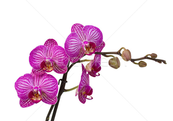 orchid branch Stock photo © neirfy