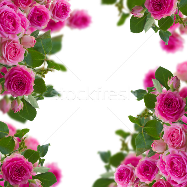frame  of  pink roses brunches close up Stock photo © neirfy