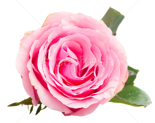 Розовые розы бутон изолированный белый свадьба любви Сток-фото © neirfy