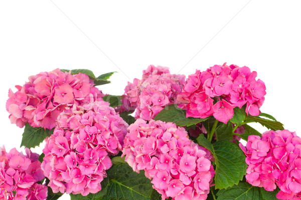 pink  hortensia flowers Stock photo © neirfy