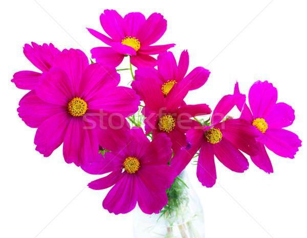 Cosmos pink flowers Stock photo © neirfy