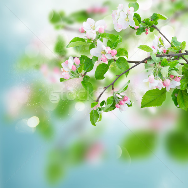 Apple tree blossom Stock photo © neirfy
